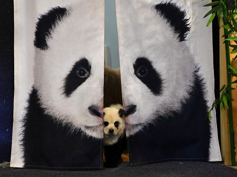 2019-10-30T024617Z_1577276926_RC13F217CFA0_RTRMADP_3_CHINA-PANDA-PETS-CAFE-(Read-Only)