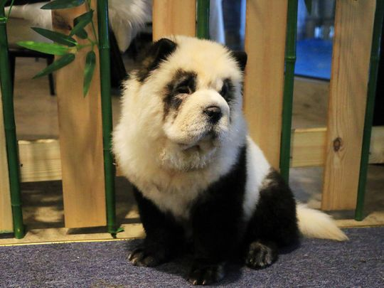 2019-10-30T024624Z_1372492838_RC19886F34A0_RTRMADP_3_CHINA-PANDA-PETS-CAFE-(Read-Only)