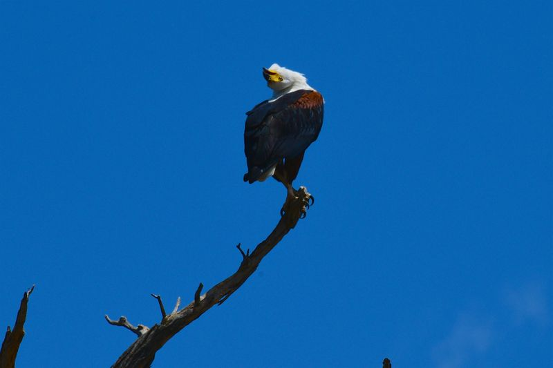 African fish Eagle making a call-1572443868914
