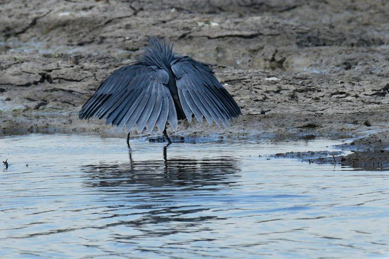Black Heron hunting-1572443928735