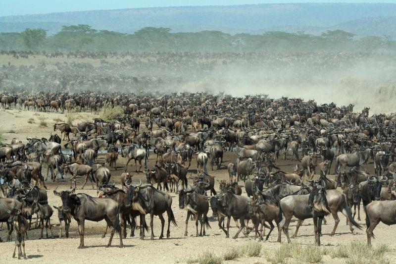 Wildebest migration-1572443893273