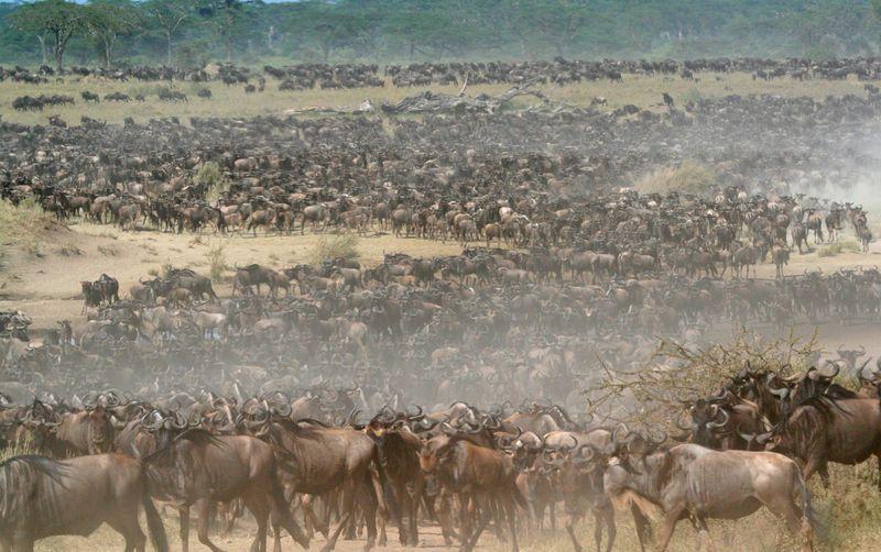 Wildebest migration1-1572443846109