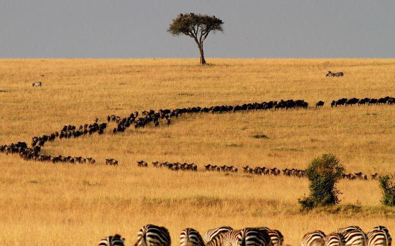 Wildebest migration2-1572443888721