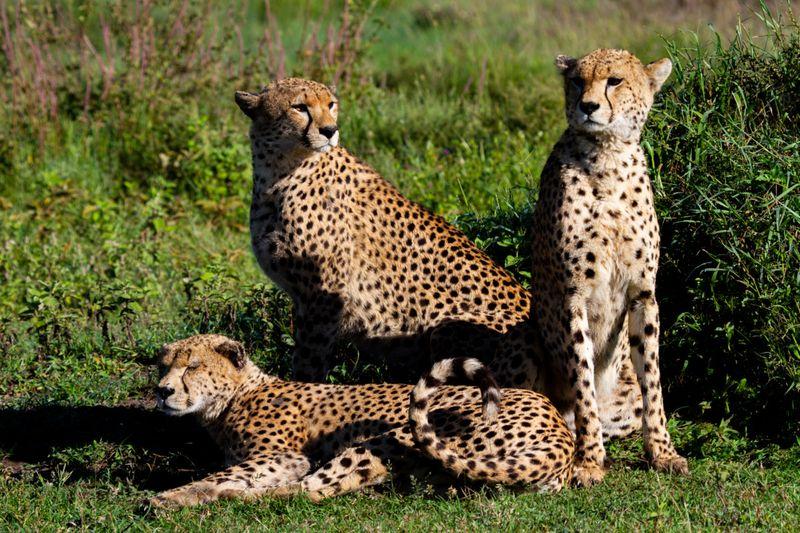 cheetahs in Serengeti-1572443924288