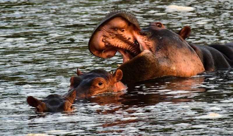 hippo-1572443918754