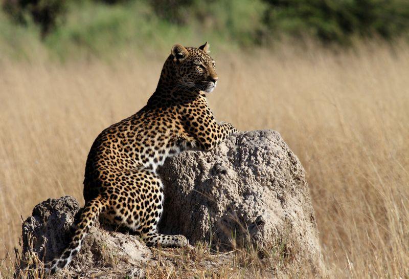 leopard in botswana-1572443852702