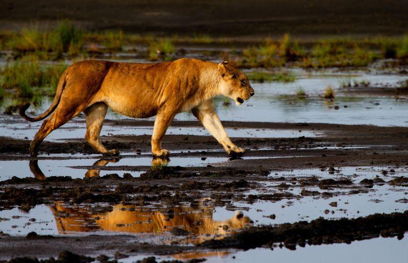 lioness in Tanzania-1572443902366