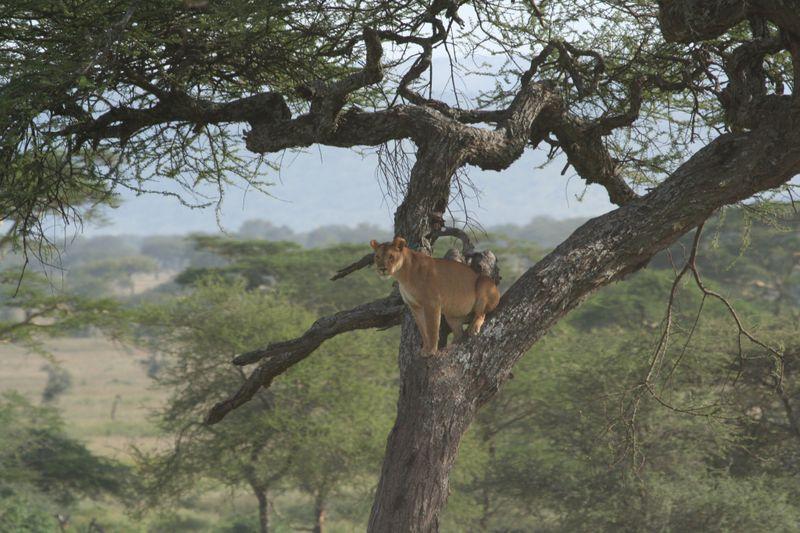 lioness in Tanzania1-1572443857842