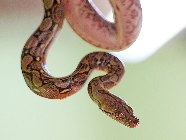 Woman found dead with python around neck in Indiana snake house