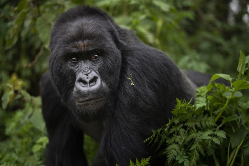 Copy of APTOPIX_Rwanda_What_Can_Be_Saved_Gorillas_32621.jpg-fe7e3~3-1572866641493