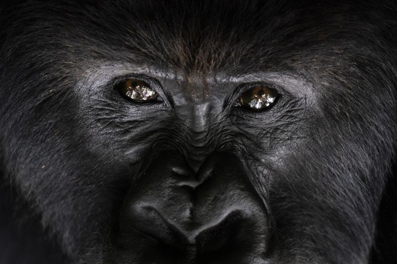 Copy of APTOPIX_Rwanda_What_Can_Be_Saved_Gorillas_81755.jpg-aeadd~3-1572866667987