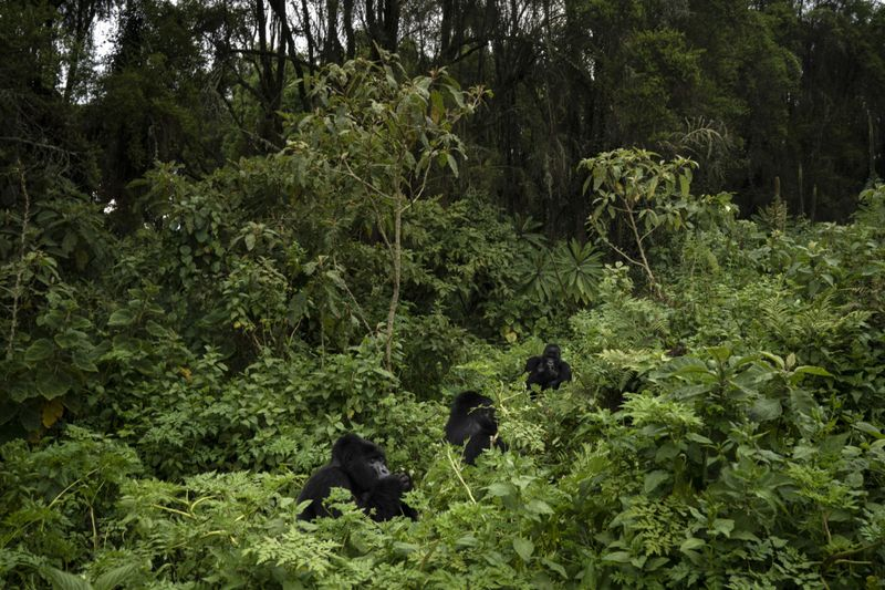 Copy of Rwanda_What_Can_Be_Saved_Gorillas_34010.jpg-fab07~3-1572866658407