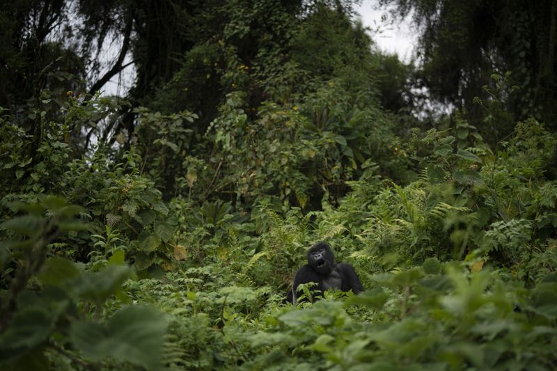 Copy of Rwanda_What_Can_Be_Saved_Gorillas_37254.jpg-8a9de~2-1572866671311