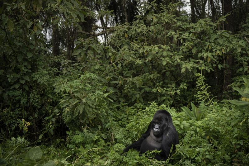Copy of Rwanda_What_Can_Be_Saved_Gorillas_64699.jpg-b385a~3-1572866661753