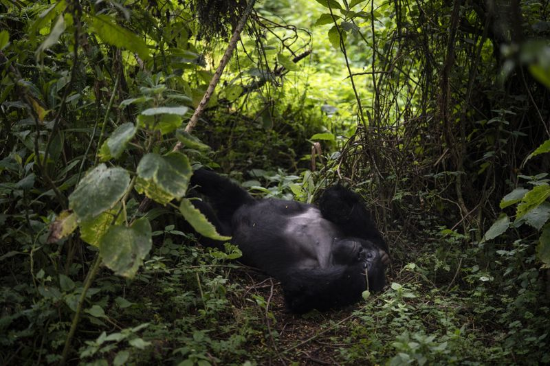 Copy of Rwanda_What_Can_Be_Saved_Gorillas_90314.jpg-4f585~3-1572866648401