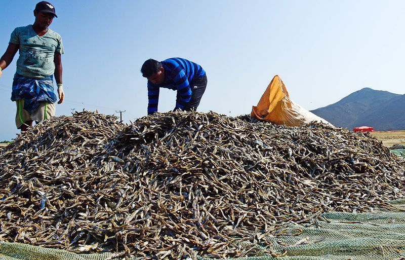 Workers packing dried fish in Kalba