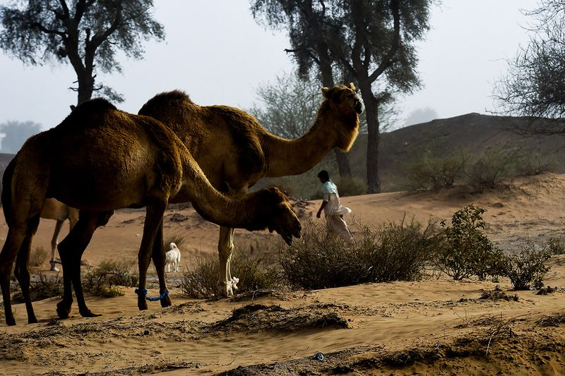 Camels are seen at a desert in Sharjah