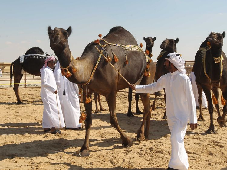 NAT 191109 AL DHAFRA CAMEL-1573303365865