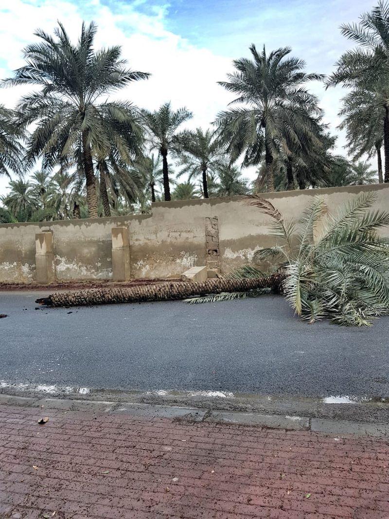 Date palm tree felled by strong winds in Ras Al Khaimah 01