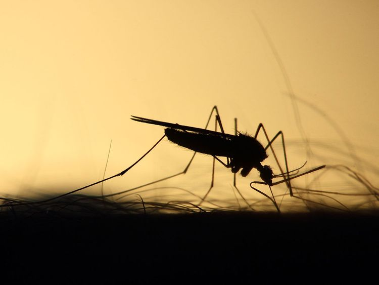 mosquito-3860900_1920