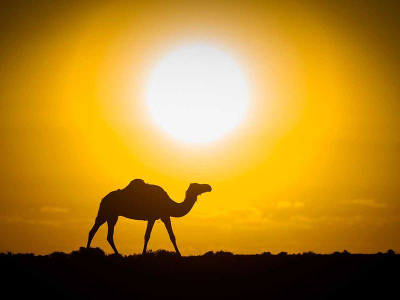 191121 camel
