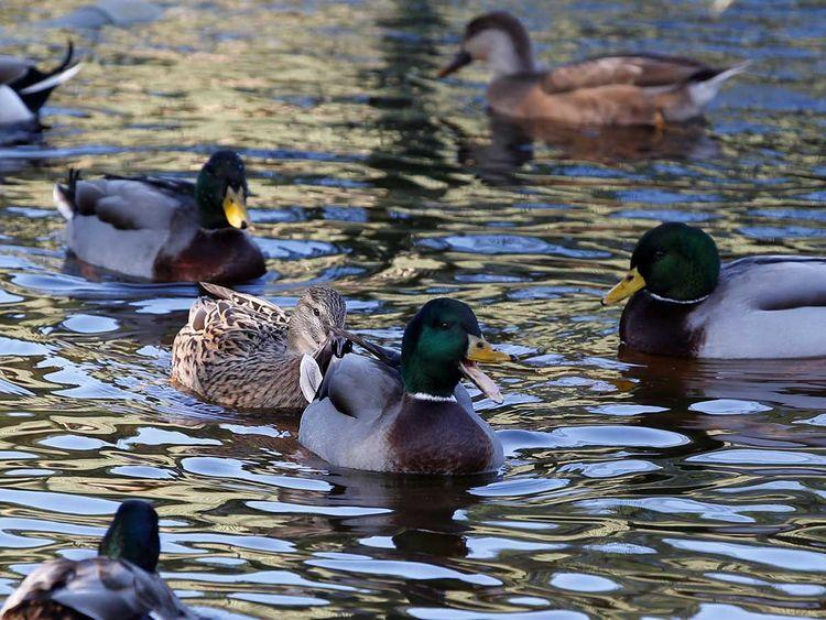 191121 ducks