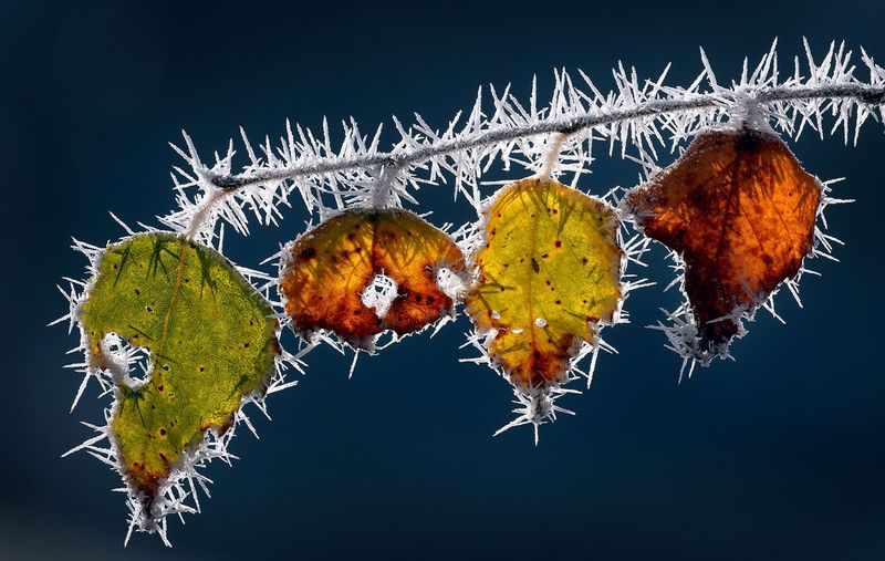 Ice needles cover autumnally colored leaves still hanging on a branch in Marktoberdorf, southern Germany.