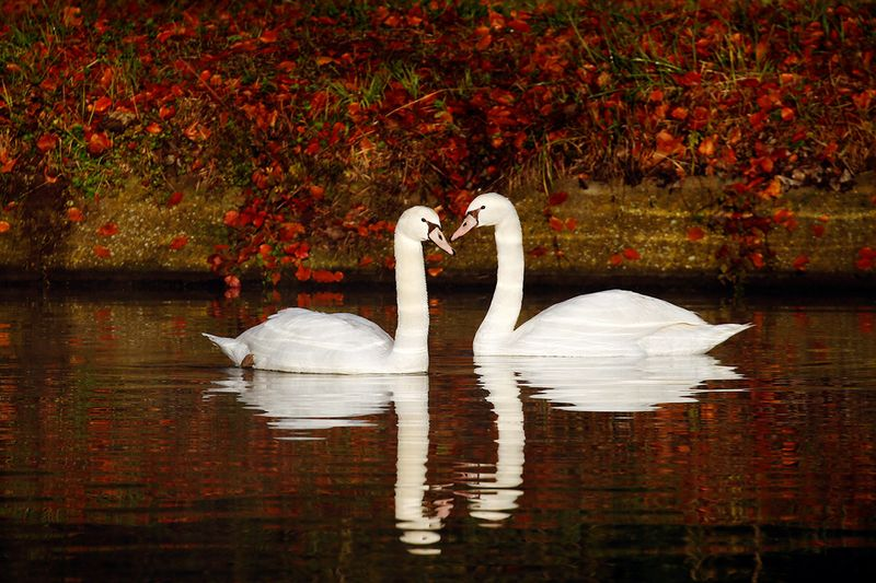 Two swans swim in the canal as golden, green and rusty leaves colour the autumn in Thun-Leveque, France.