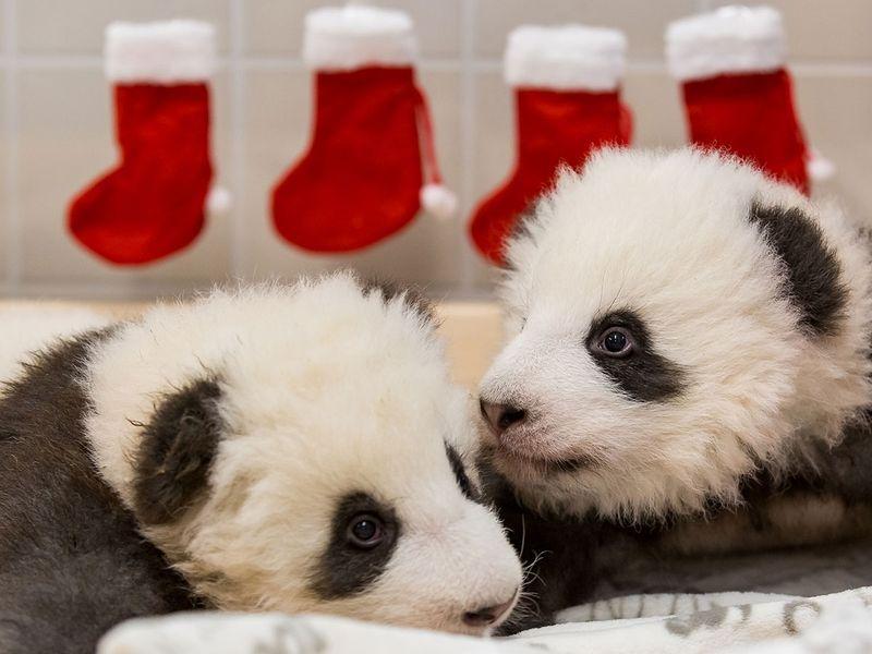 German Pandas