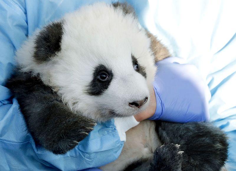 Germany_Zoo_Pandas_17832