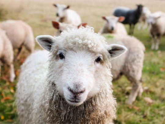 ireland sheeps generic