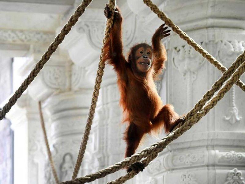 191216 orangutan