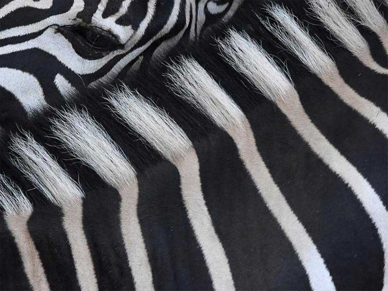 191216 zebra
