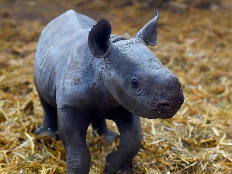 191220 Black rhino