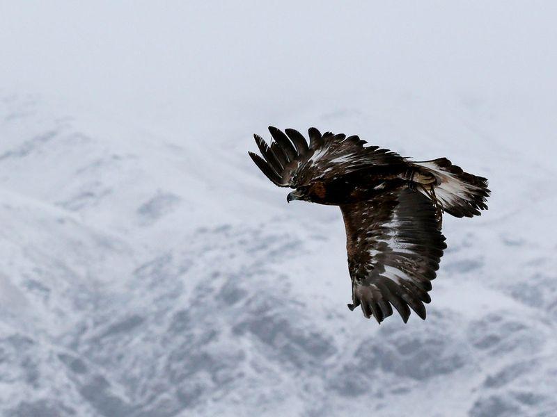 A tamed golden eagle soars