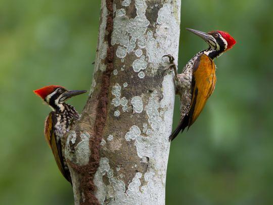 opn 200109 Woodpecker-1578569855384