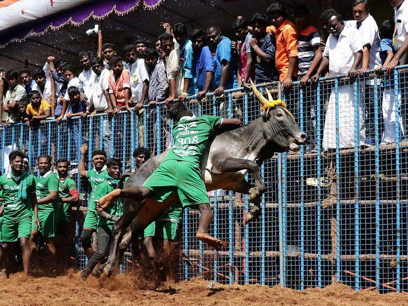 India_Bull_Taming_88597