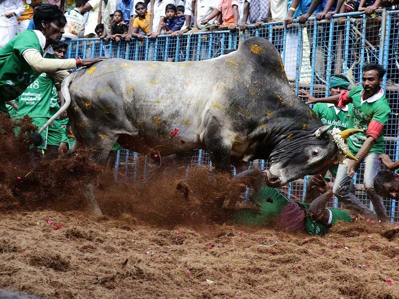 India_Bull_Taming_97236