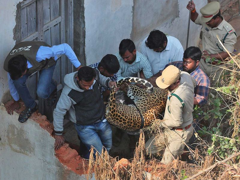 Copy-of-India_Leopard_Rescued_01697