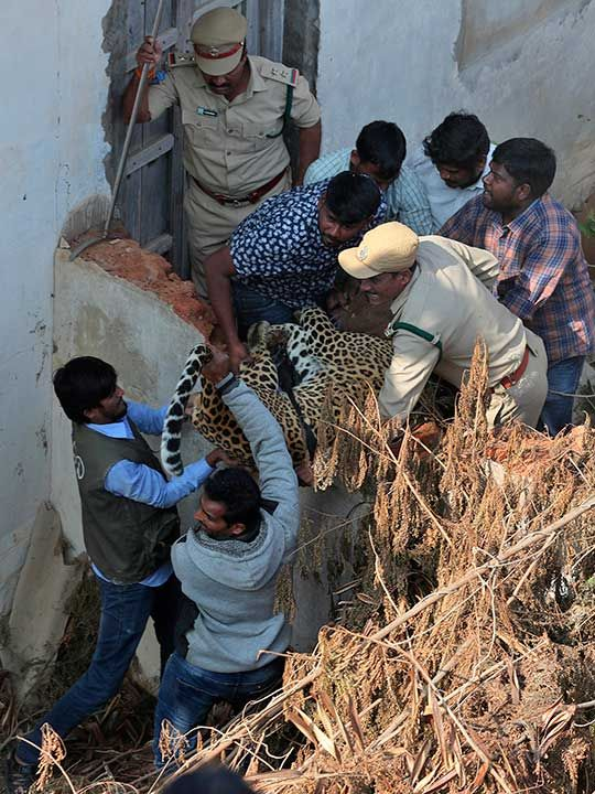 Copy-of-India_Leopard_Rescued_37228
