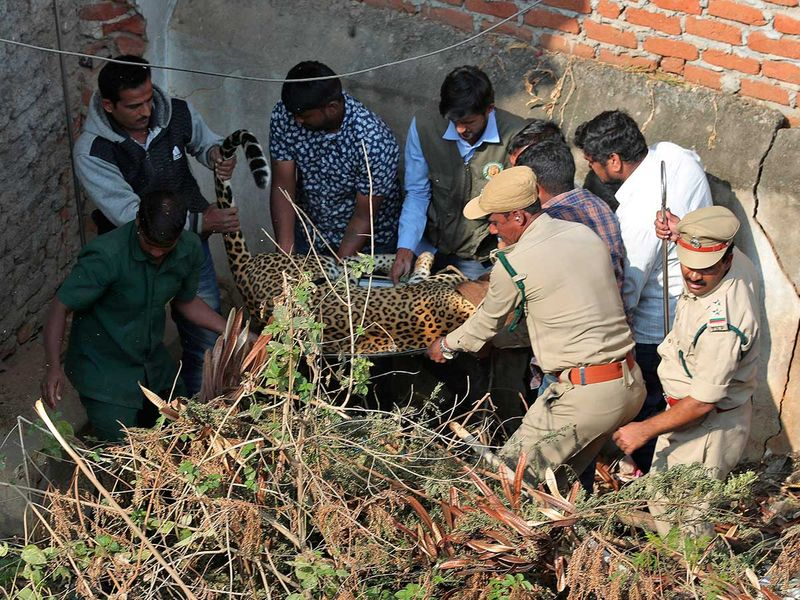 Copy-of-India_Leopard_Rescued_94973