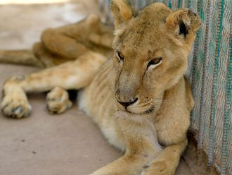 A malnourished lioness sits in her cage at the Al-Qureshi park in Khartoum.