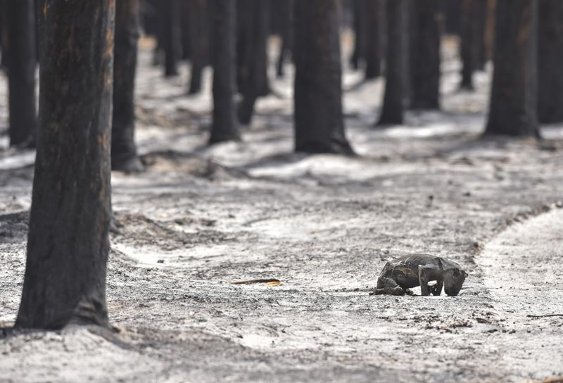Copy of australia-koalas-fcb65e96-3d47-11ea-8872-5df698785a4e-1579780087107