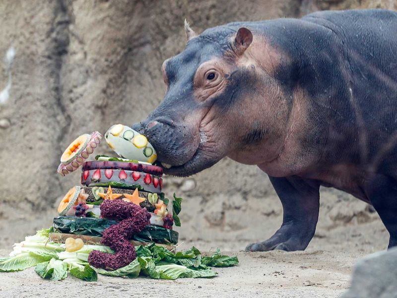 Premature_Hippo_Birthday_40685