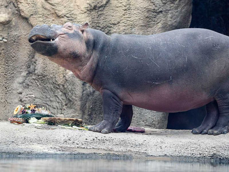 Premature_Hippo_Birthday_89169