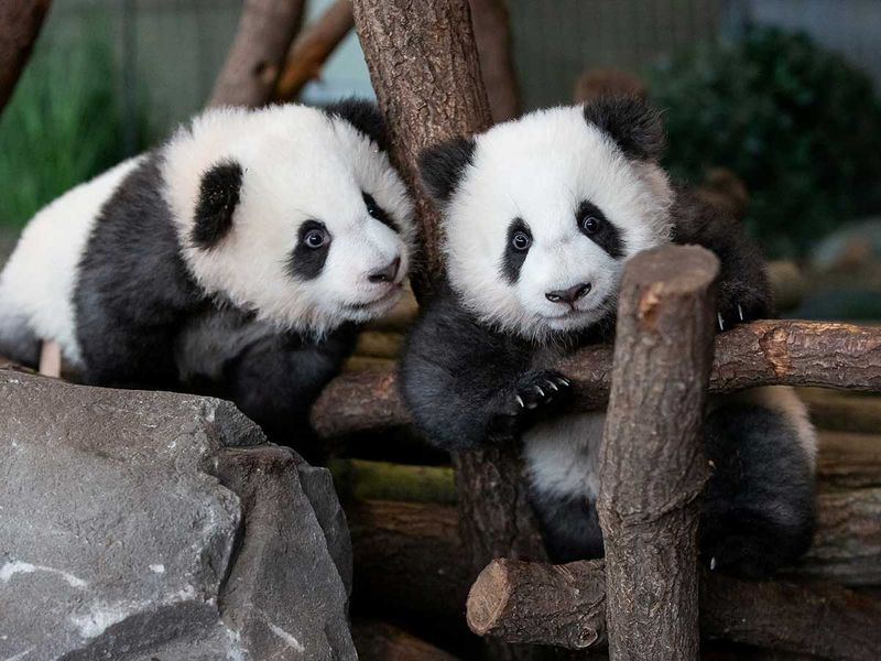2020-01-29T105354Z_778932820_RC2MPE9I9S75_RTRMADP_3_GERMANY-PANDAS-(Read-Only)