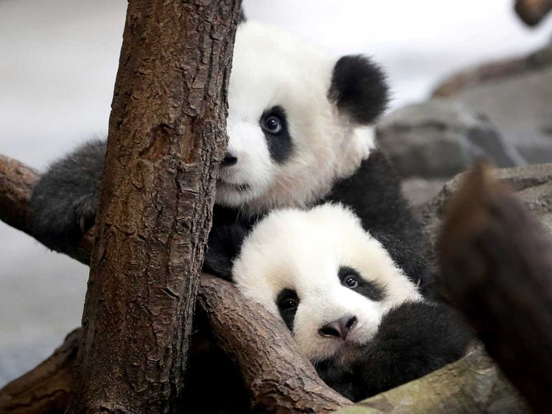 Germany_Zoo_Pandas_32577
