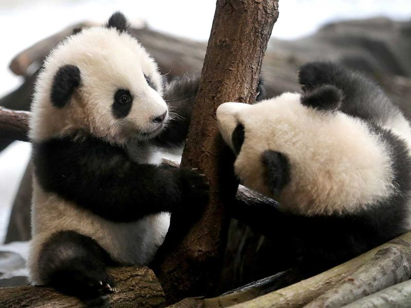Germany_Zoo_Pandas_58751