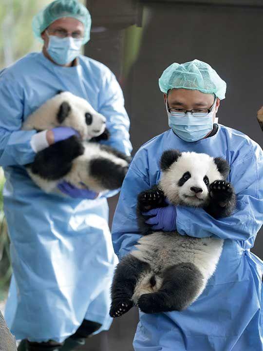 Germany_Zoo_Pandas_75406