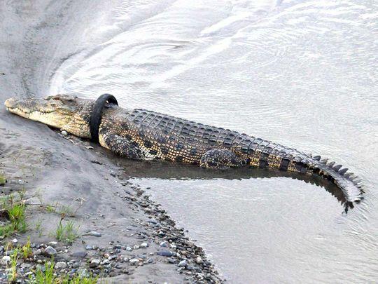 2001310 crocodile